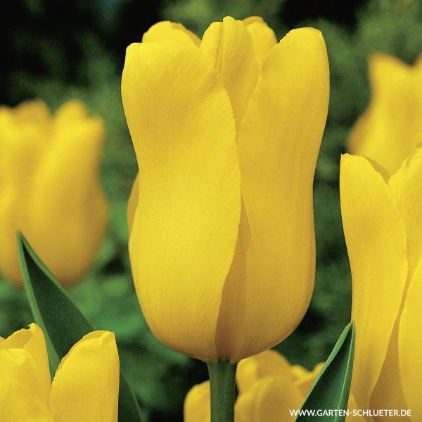 Triumph-Tulpe 'Jan van Nes' - 10 Stück Tulipa 'Jan van Nes' Bild