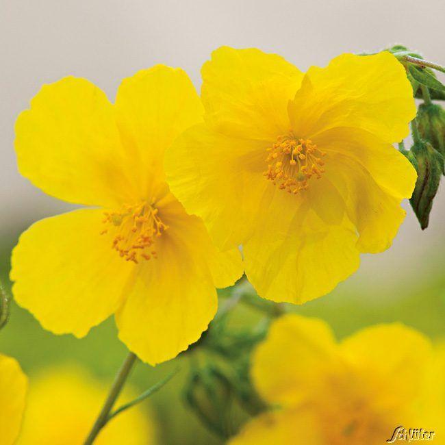 Sonnenröschen 'Gelb' - 3 Stück
