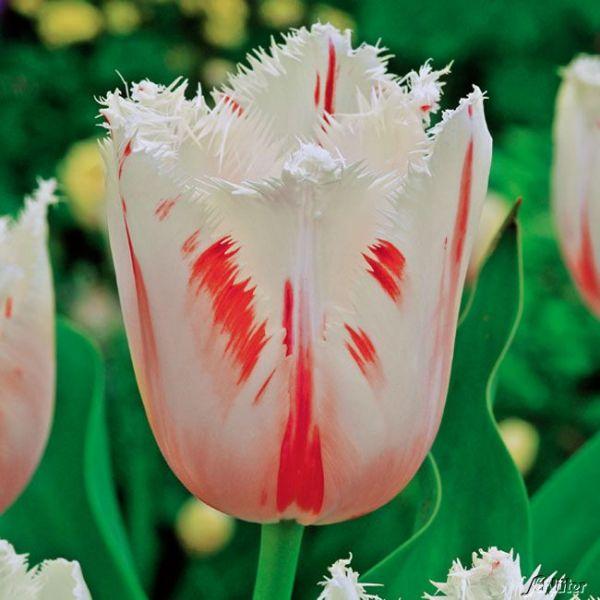 Gefranste Tulpe 'Carrousel' - 7 Stück Crispa Tulipa 'Carrousel' Bild