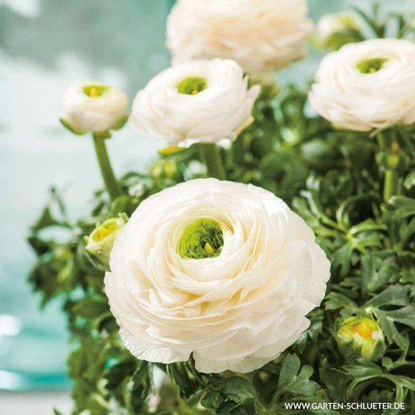 Ranunkeln 'Weiss' - 10 Stück Ranunculus Bild