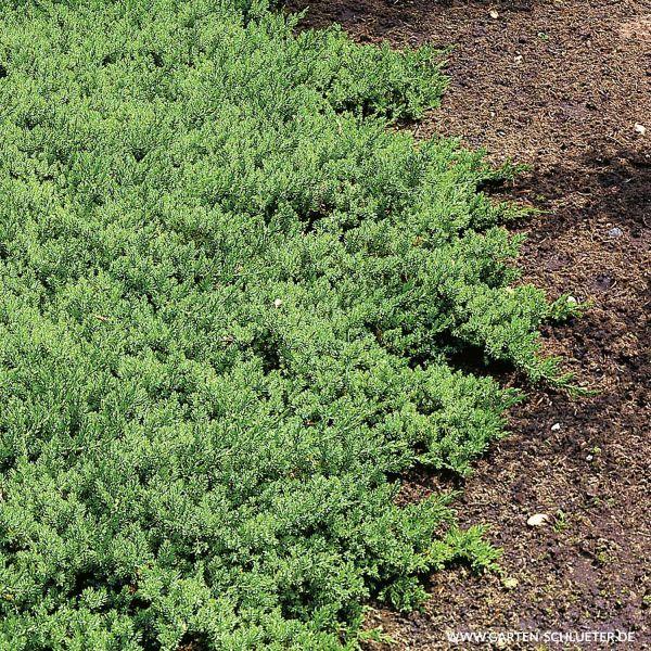 Japanischer Kriechwacholder 'Nana' (25/30 cm) Juniperus procumbens 'Nana' Bild