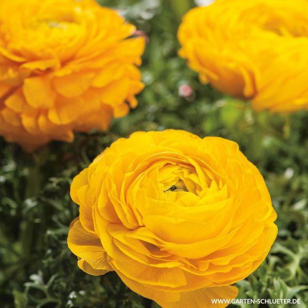 Ranunkeln 'Gelb' - 10 Stück Ranunculus Bild