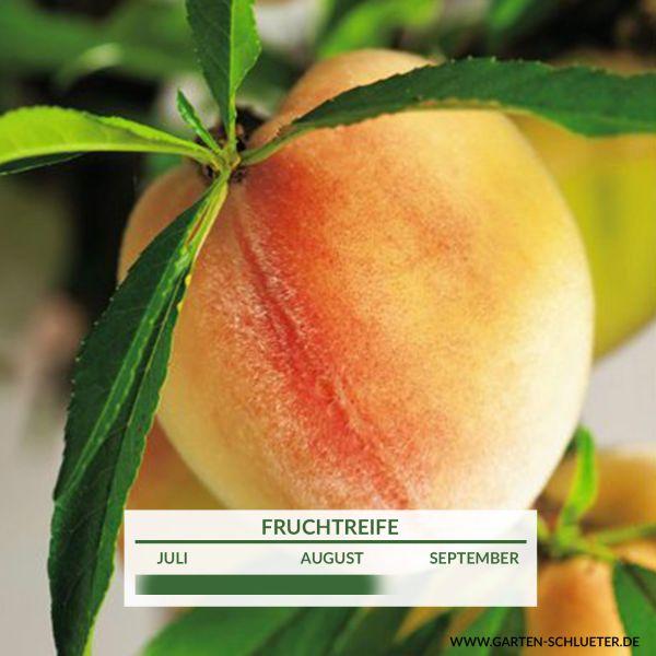 Pfirsich-Apricose 'Pfirsicose' Prunus x percocca 'Pfirsicose' Bild