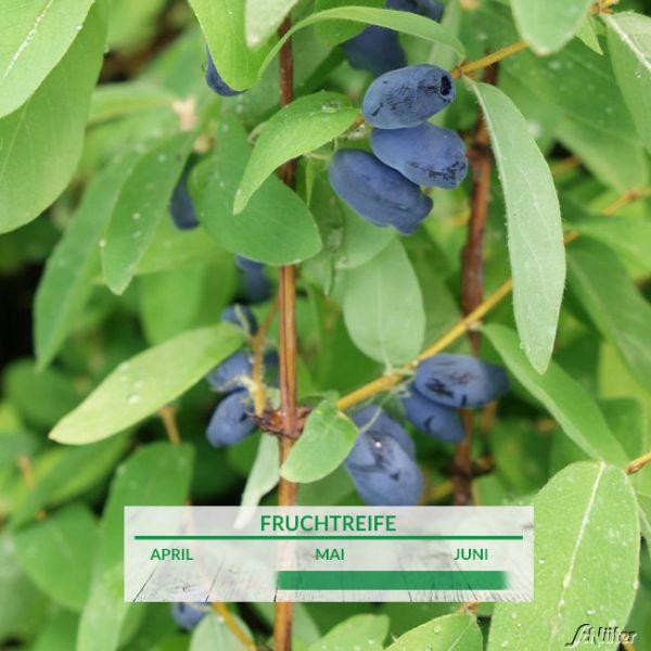 Sibirische Blaubeere 'MyBerry® Sweet' - Honigbeere Lonicera kamtschatica 'MyBerry® Sweet' Bild