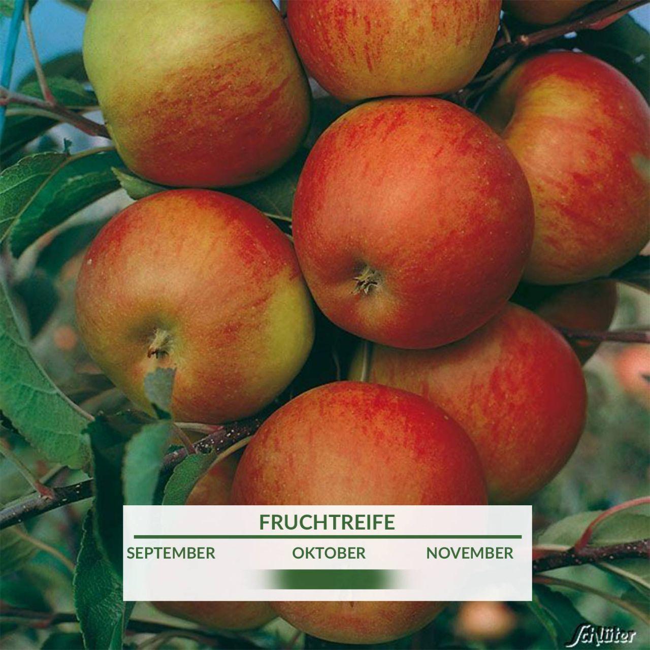 Garten-Schlueter.de: Zwerg - Apfel Elstar