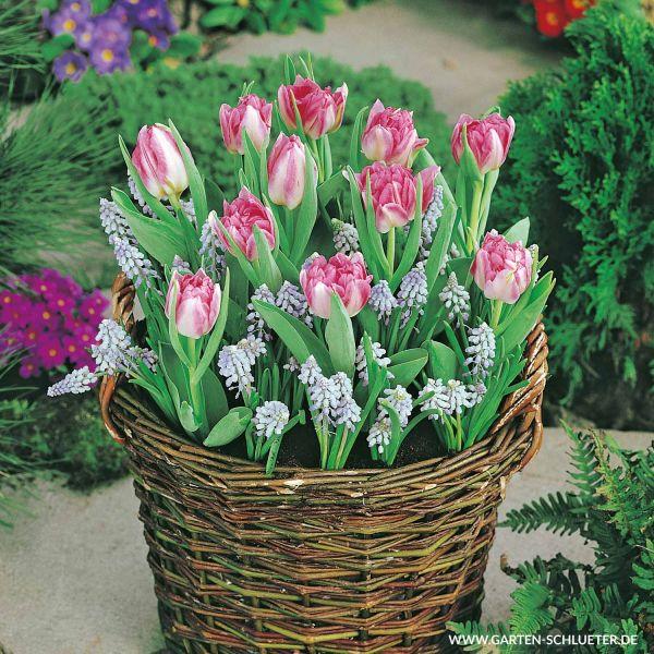 Tulpen & Traubenhyazinthen-Mischung 'Dutch Flowerfields' Tulipa und Muscari Bild