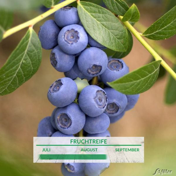 Heidelbeere 'Reka'® - die Gartenheidelbeere Vaccinium corymb. 'Reka'® Bild