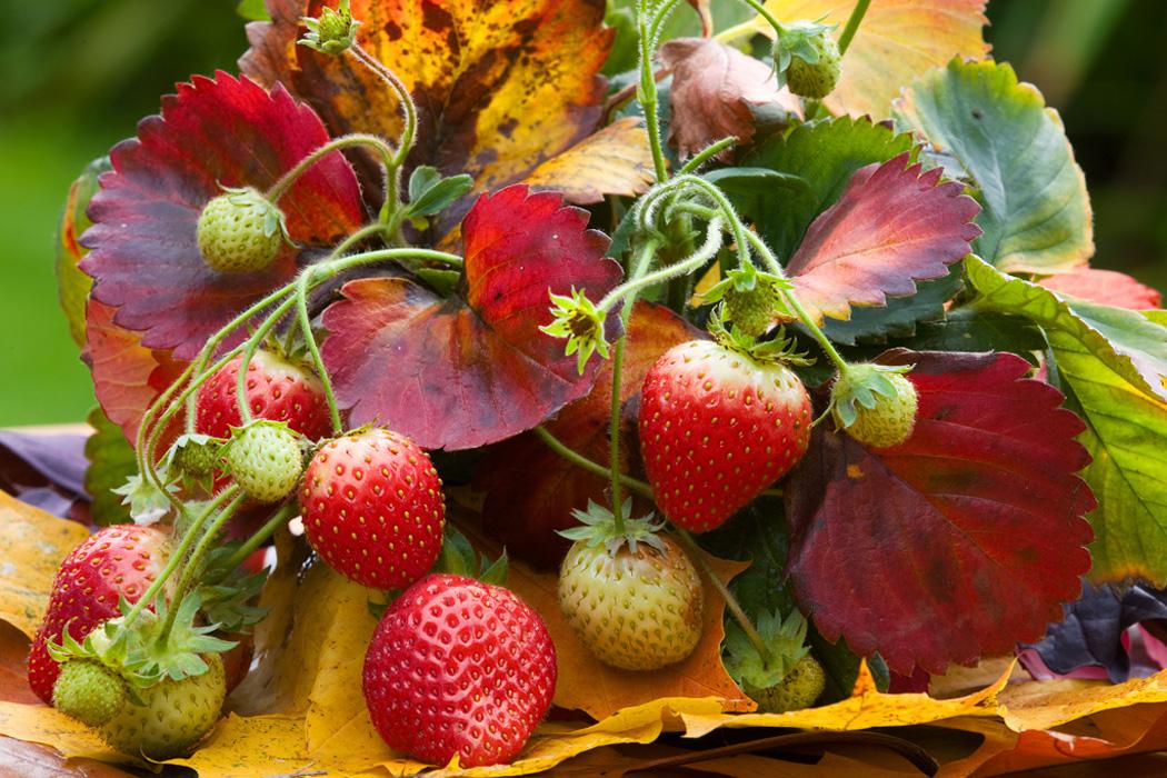 Berühmt Erdbeeren überwintern | Erdbeeren | Ratgeber | Garten Schlüter &PT_44