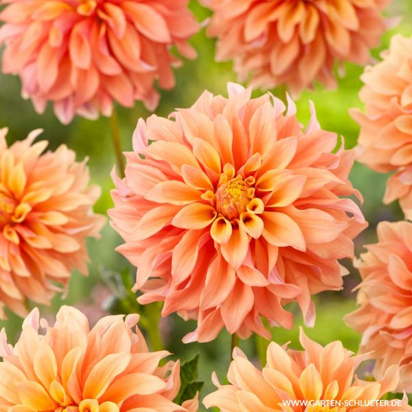 XXL-Dahlie 'Tyrell' Dahlia 'Tyrell' Bild