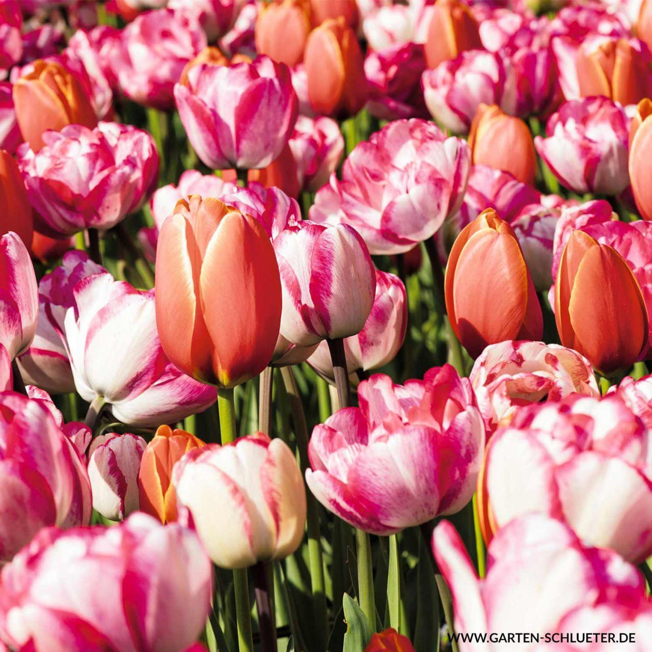 Darwin-Hybrid Tulpe 'Sortiment in 5 Sorten' - 47 Stück