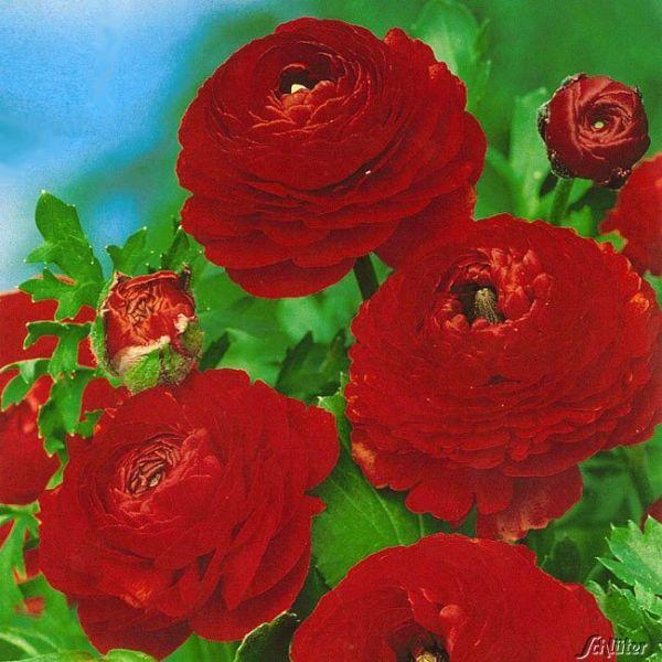 Ranunkeln 'Red' - 10 Stück Ranunculus 'Red' Bild