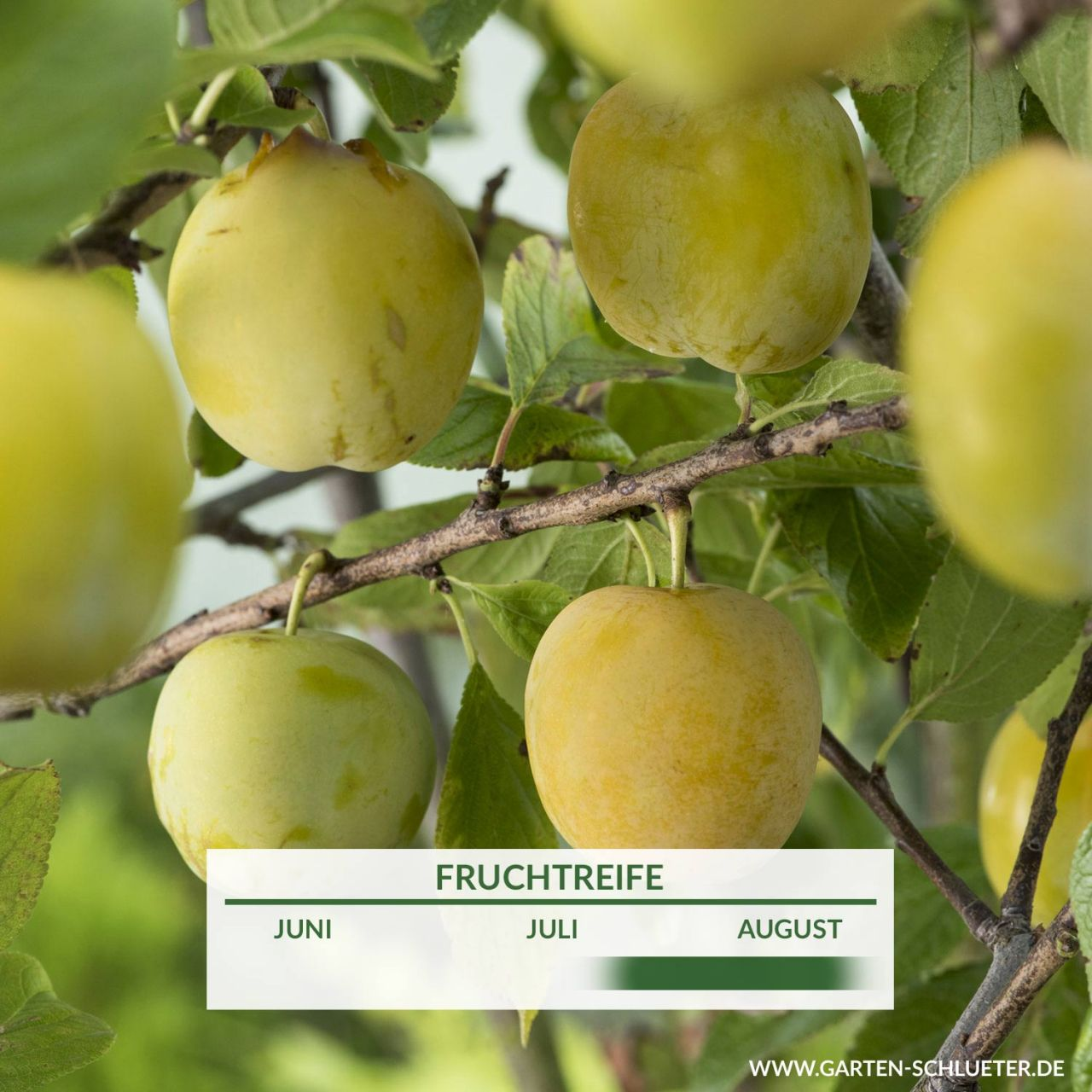 Garten-Schlueter.de: Pflaume Oullins Reneklode