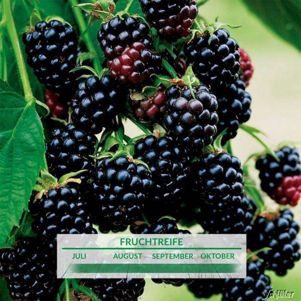 Brombeere 'Black Satin' Rubus fruticosus 'Black Satin' Bild