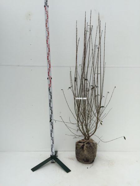 Mit Ballen, 125-150 cm, 10 Pflanzen