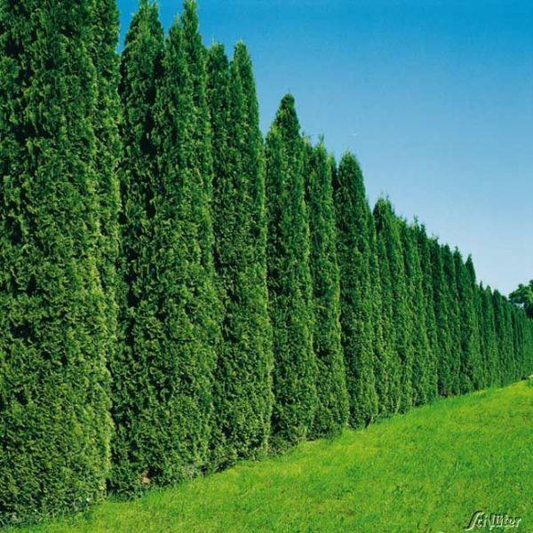 Lebensbaum 'Smaragd' - 100 Pflanzen 40 - 60 cm hoch für 25 Meter Hecke Thuja occidentalis 'Smaragd' Bild