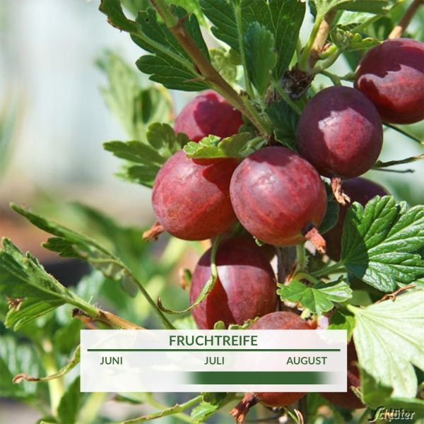 Stachelbeere 'Hinnonmäki rot' - Hochstamm Ribes uva-crispa 'Hinnonmäki rot' Bild