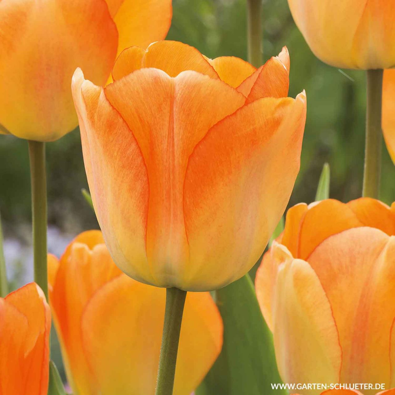 Garten-Schlueter.de: Darwin - Hybrid Tulpe Daydream - 10 Stück