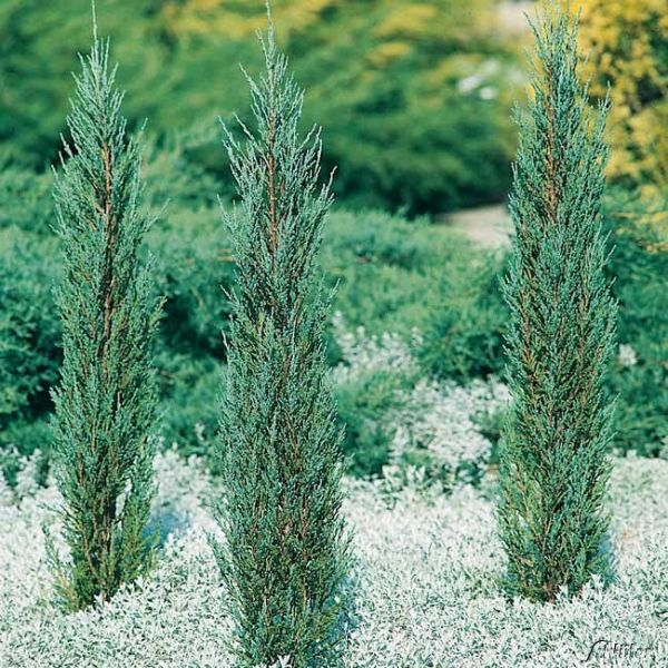 Raketenwacholder 'Blue Arrow' Juniperus scopulorum 'Blue Arrow' Bild