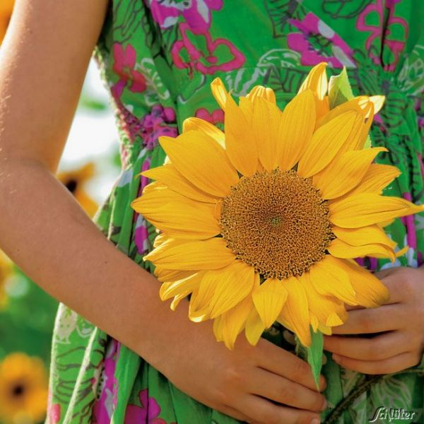 Hecken-Sonnenblume 'Golden Hedge' Helianthus annuus Bild