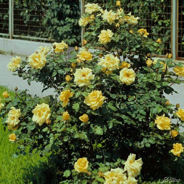 Strauchrose 'Frühlingsgold' Rosa spinosissima 'Frühlingsgold' Bild