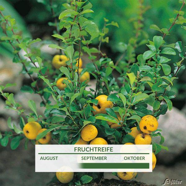 Nordische Zitrone/ Strauchquitte 'Cido' essbar Chaenomelis japonica 'Cido', orange Blüte Bild
