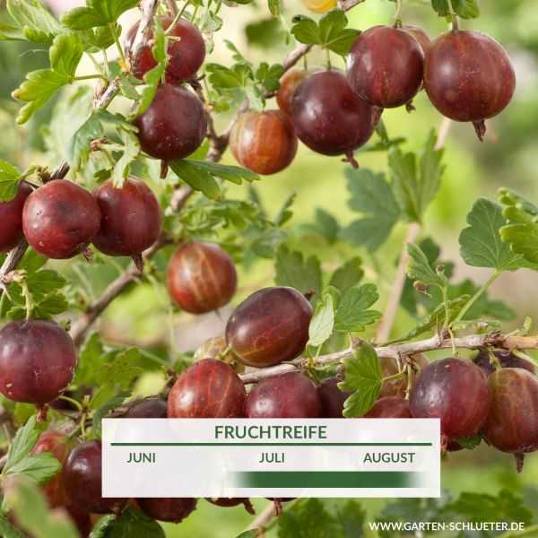 Stachelbeere 'Larell' Ribes uva-crispa 'Larell' Bild