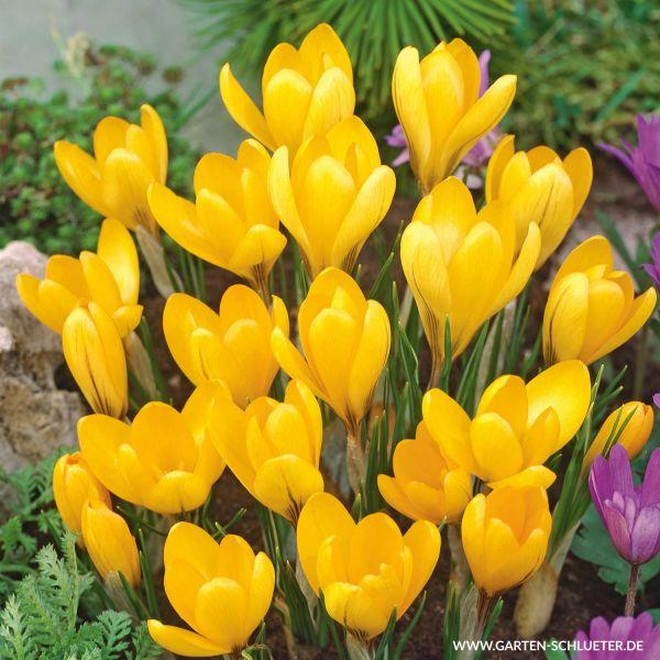 Großblumige Krokusse 'Golden Yellow' - 15 Stück Crocus 'Golden Yellow' Bild
