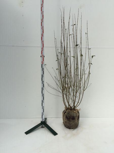 Mit Ballen, 100-125 cm, 10 Pflanzen