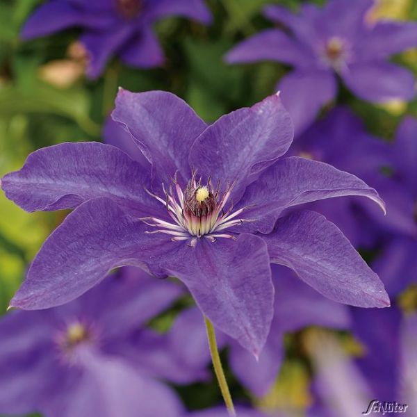 Clematis 'The President' Clematis Hybride 'The President' Bild