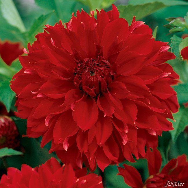 Dahlie 'Red Fubuki' - 1 Stück