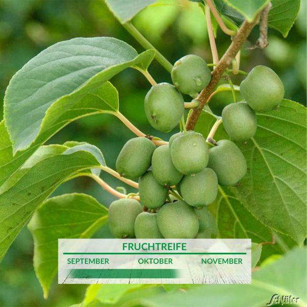 Minikiwi 'Kiwi Berry® Fresh Jumbo®' Actinidia arguta Bild