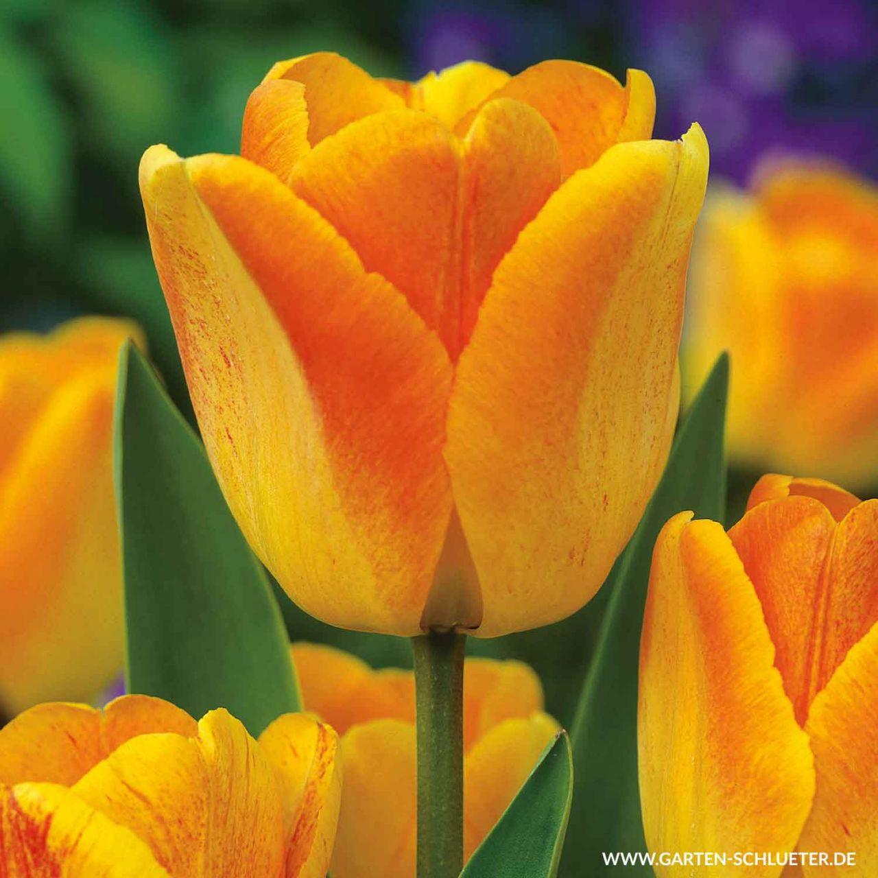 Einfache späte Tulpe 'Rhapsody of Smiles' - 7 Stück