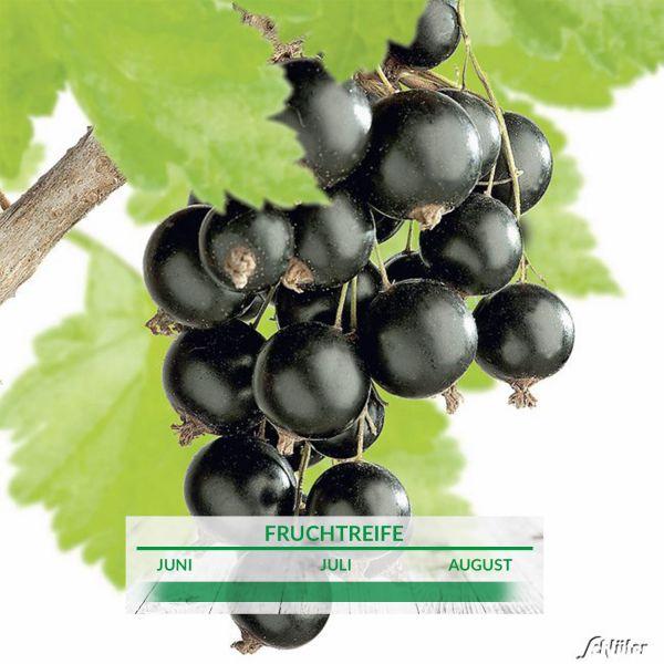 Schwarze Johannisbeere 'Big Ben' Ribes nigrum 'Big Ben' Bild