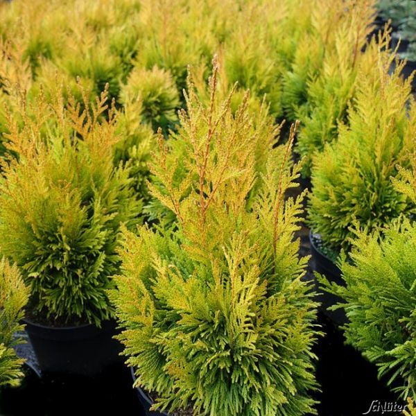 Goldgelber Lebensbaum '4ever Goldy' Thuja plicata '4ever Goldy' Bild