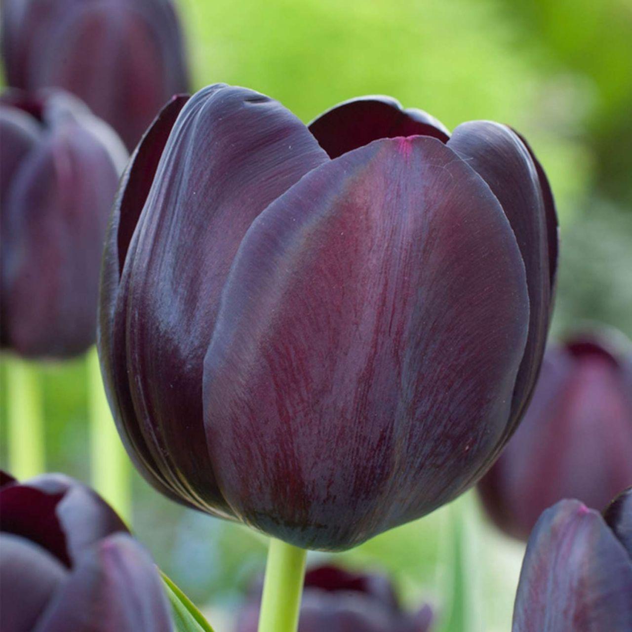 Einfache späte Tulpe 'Queen of Night' - 10 Stück