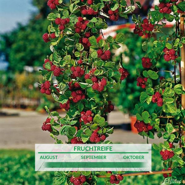 Säulen-Himbeere 'Autumn First' Rubus idaeus Bild