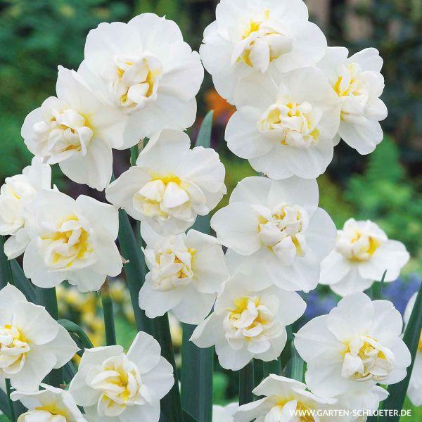 Gefüllte Narzisse 'Sir Winston Churchill' - 5 Stück Narcissus 'Sir W. Churchill' Bild