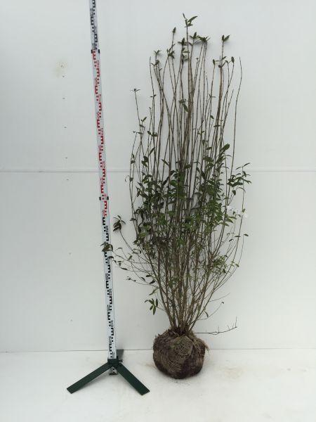 Mit Ballen, 175-200 cm, 8 Pflanzen