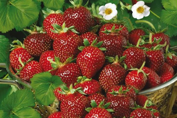 Erdbeere_Praline2