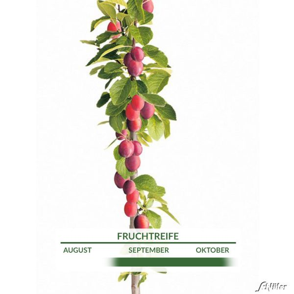 Säulen-Pflaume 'Fruca' Prunus domestica Fruca Bild