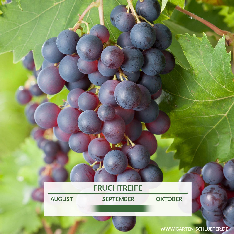 Weinrebe mit aromatischen Weintrauben