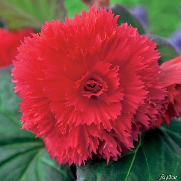 Gefranste-Begonie 'Fimbriata Rot' - 3 Stück Begonia Fimbriata Bild