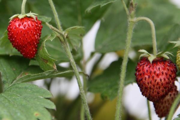 Erdbeere_Basilikum