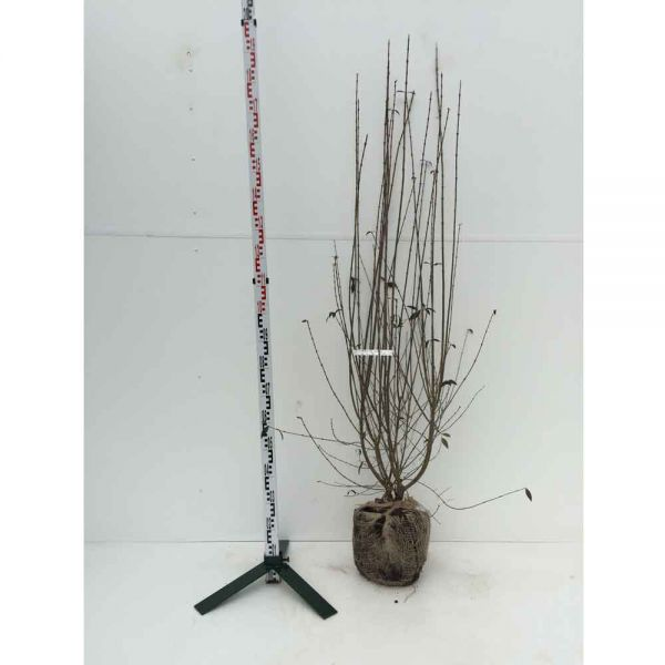 Mit Ballen, 125 - 150 cm, 15 Pflanzen