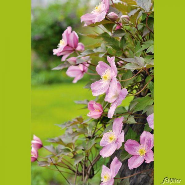 Clematis 'Tetra Rose' Clematis montana 'Tetra Rose' Bild