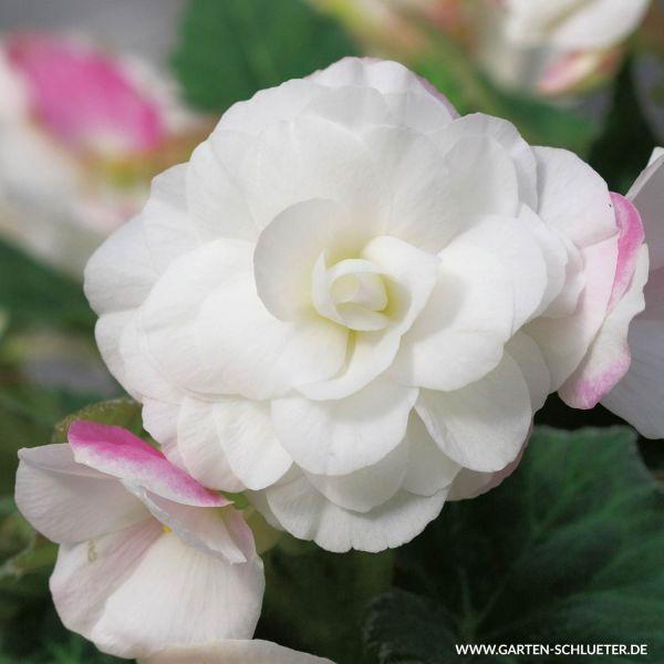Wummi-Begonie 'Apfelblüte' - 3 Stück Begonia 'Wummi Apfelblüte' Bild