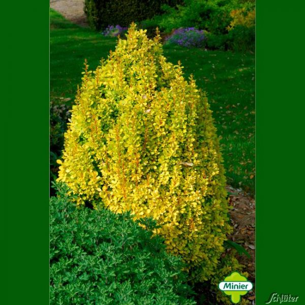 Gelbe Säulen-Berberitze 'Golden Torch' Berberis thunbergii 'Golden Torch' Bild