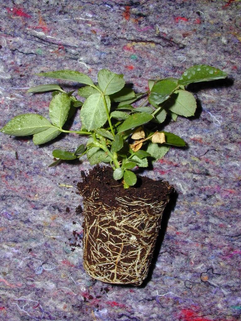 Rosen Vermehren Gartentraume