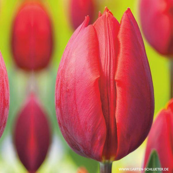 Einfache frühe Tulpe 'Couleur Cardinal' - 7 Stück Tulipa 'Couleur Cardinal' Bild