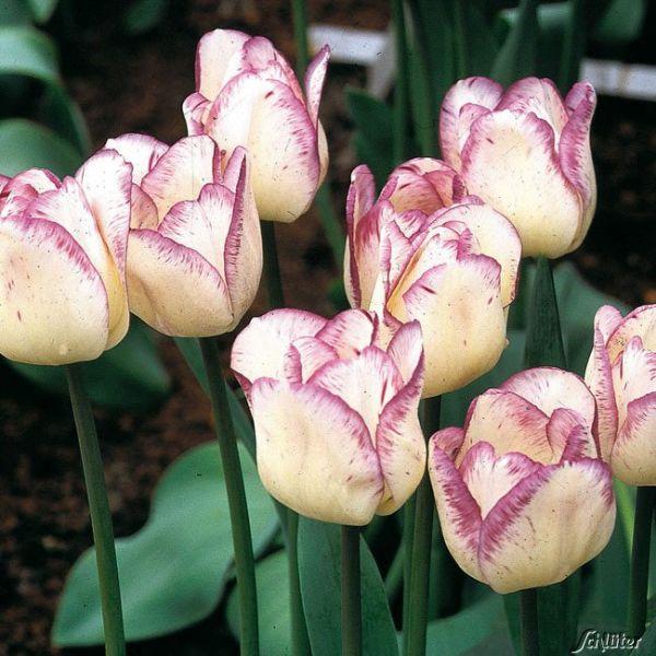 Einfache späte Tulpe 'Shirley' - 7 Stück Tulipa Bild